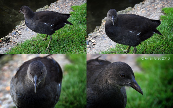 Moorhen Chick - Update