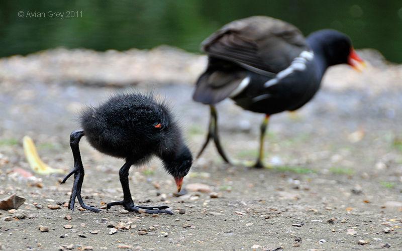 Moorhen Chick Ashore