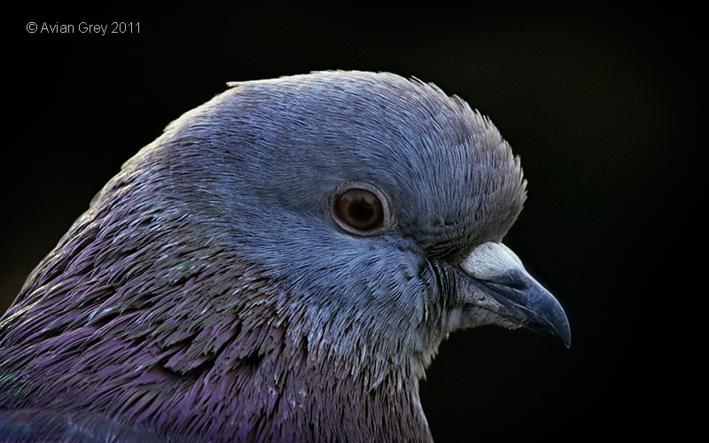 """Just"" a Pigeon"