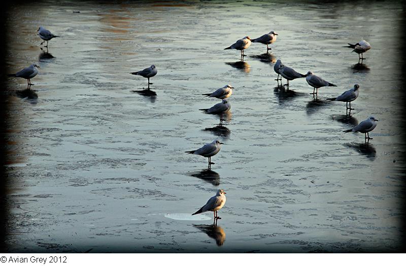 Gulls Parade