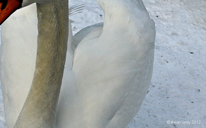 Swan Study
