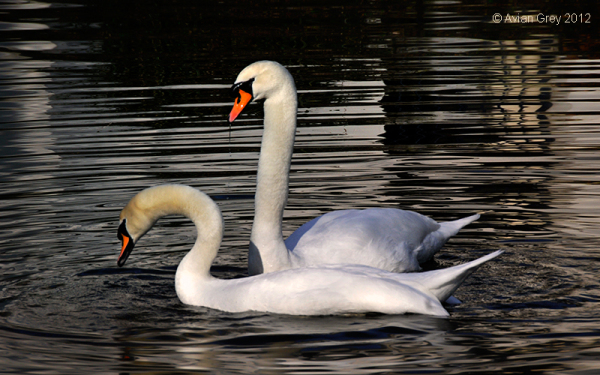 A Swan Moment