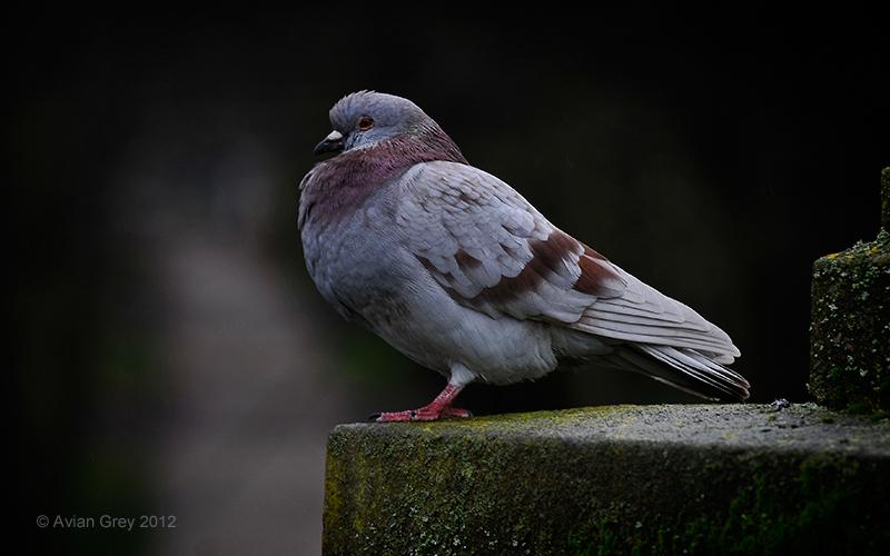 No. 1 Pigeon