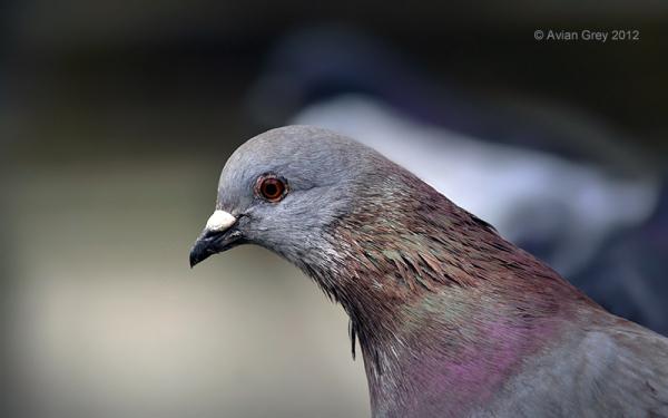 Leading Pigeon