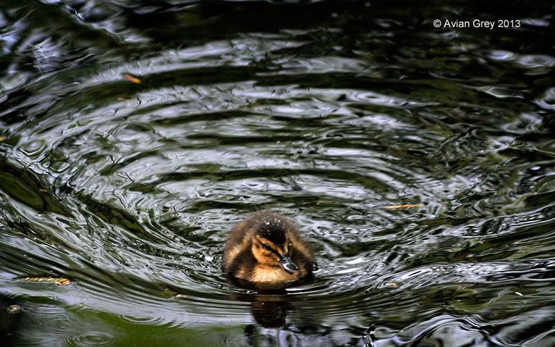 Duckling !