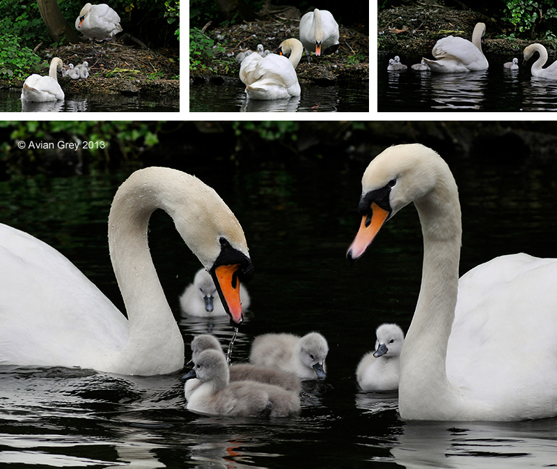Cygnets to the Water