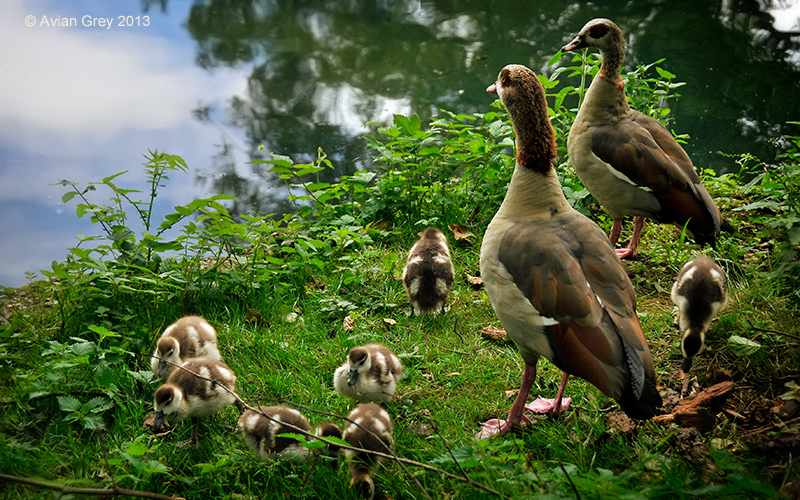 . . . Goslings May Safely Graze