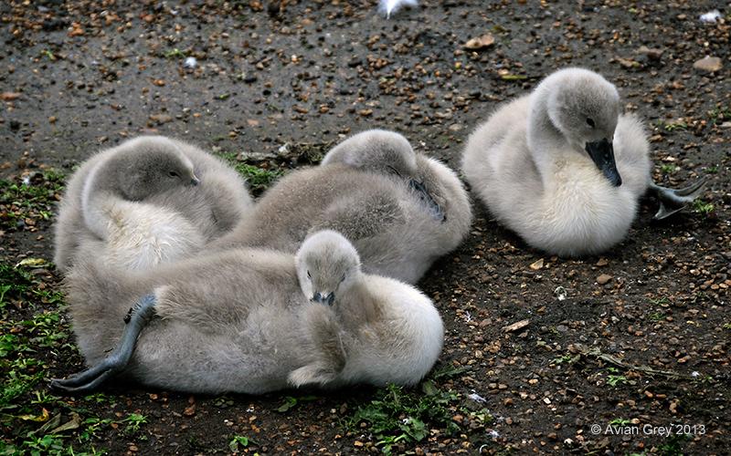 swans cygnets