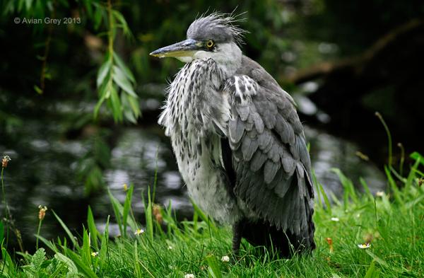 Another Heron Juvenile