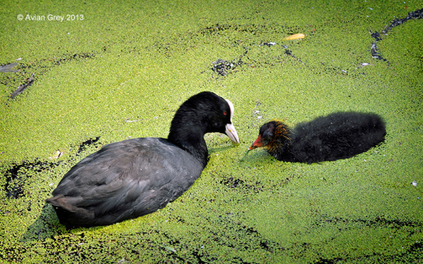 . . speaking of Coots . .
