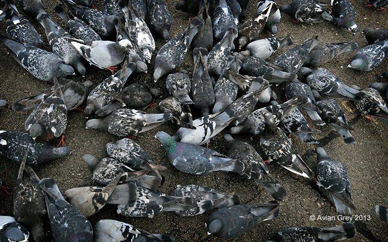 65 Pigeons