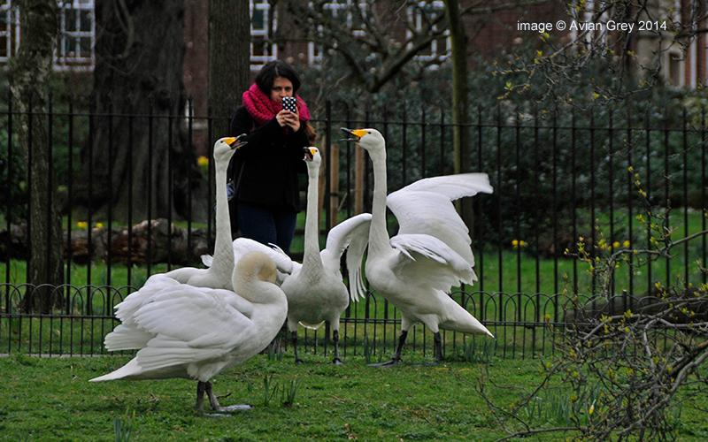 Whooper Swans - whooping