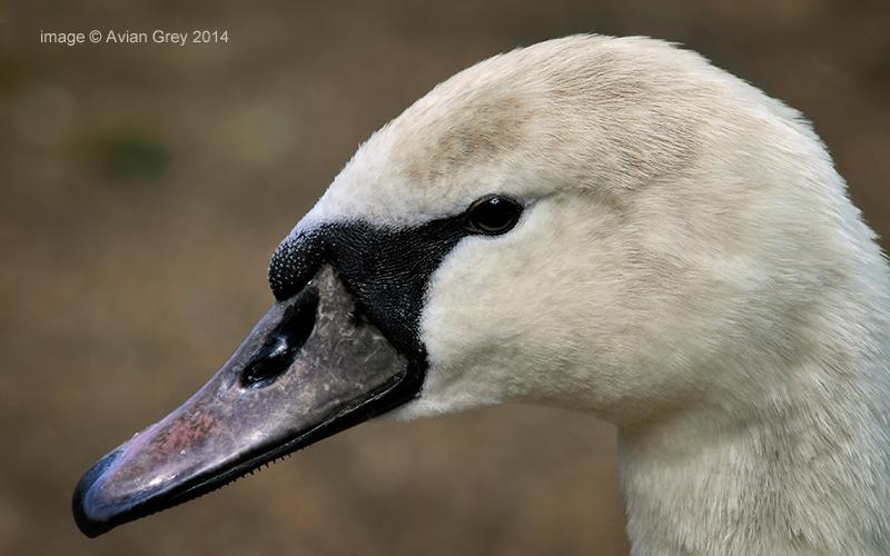 Swan Juvenile . .