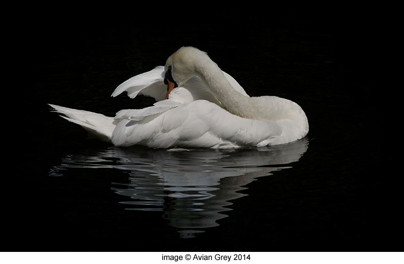 Swan Study 1/2