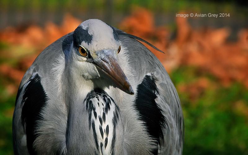 No. 1 Heron