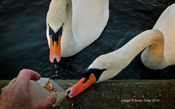 More from the Swans
