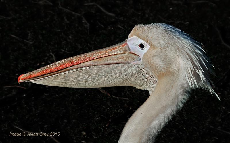 Pelican Week 2/5