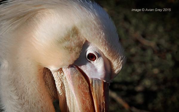 Pelican Week 3/5