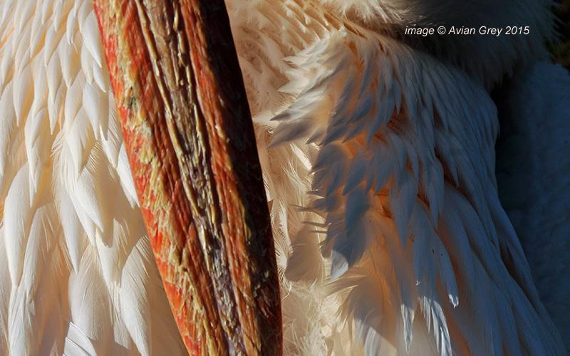 Pelican Week 4/5