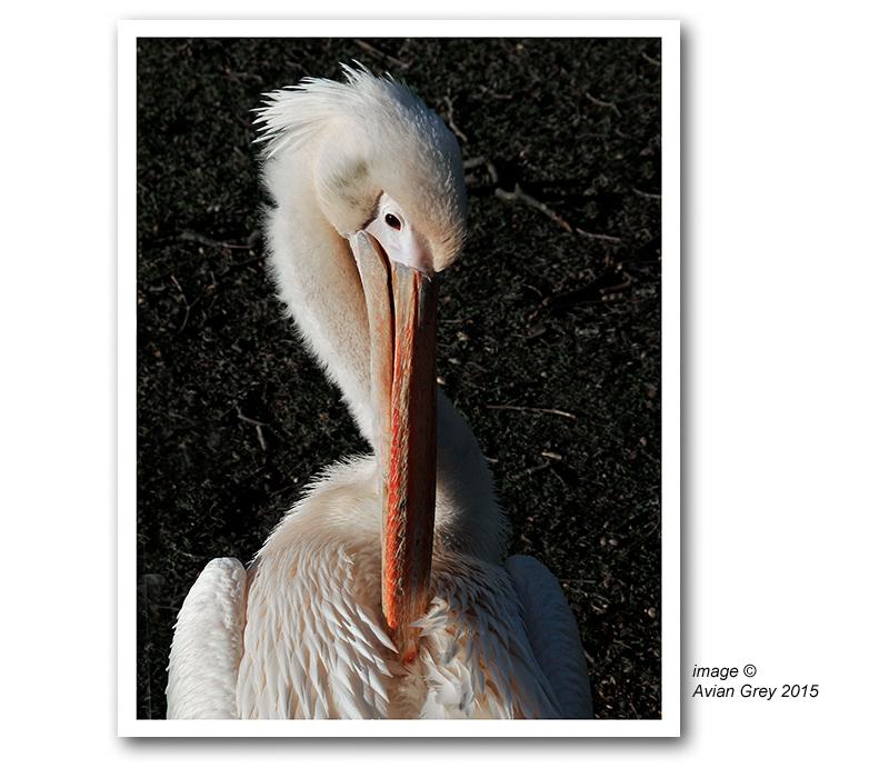 Pelican Week 5/5