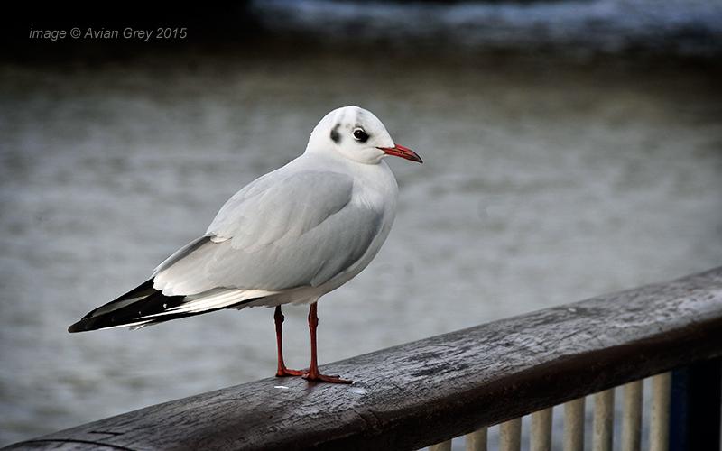 Gull Study