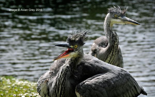 Heron Juveniles 3
