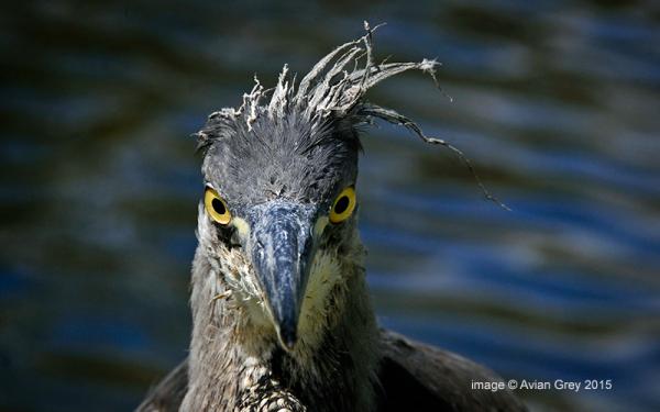 Heron Juvenile