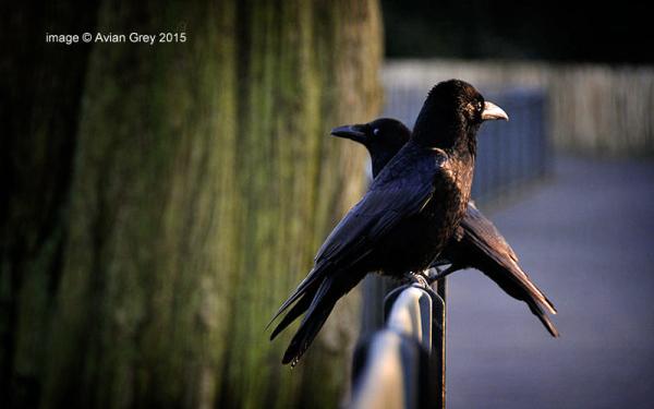 Sundown Crows