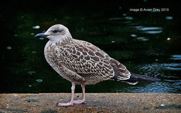 Another Gull