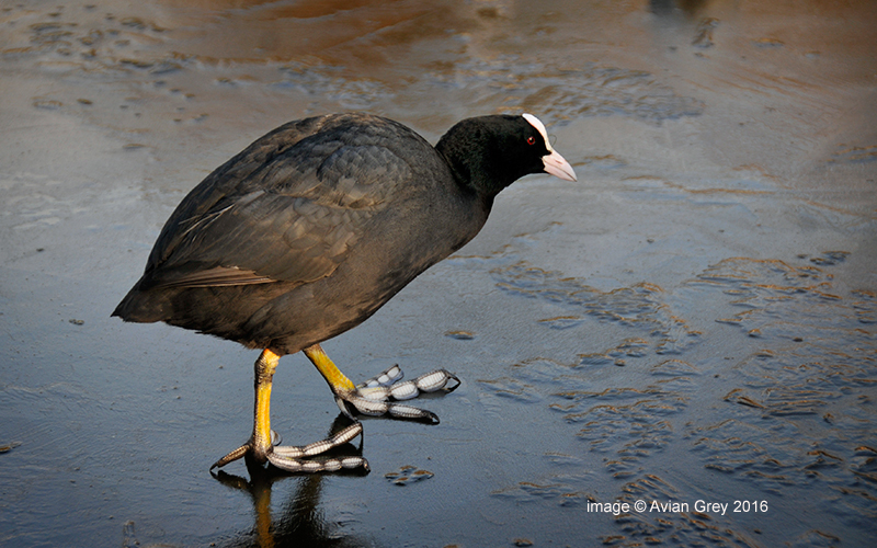 Coot on Ice