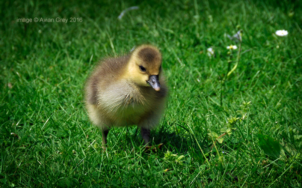 . . and, talking of goslings . .
