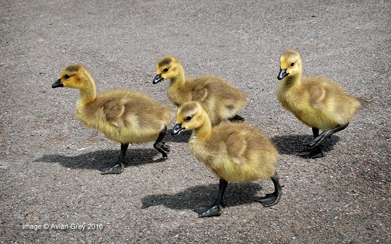 Goslings Week . .