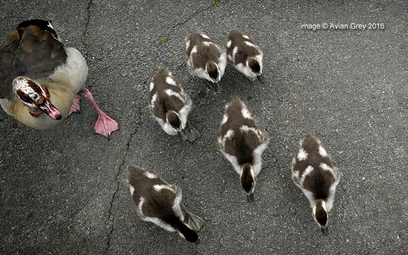 Egtptian Goose family