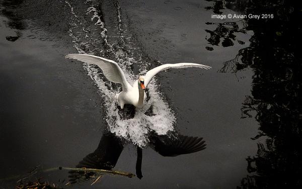 Swan Landing . .