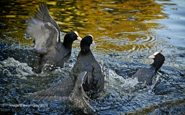 Coot Trouble