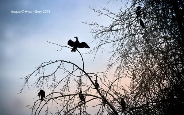 Cormorants Overhead