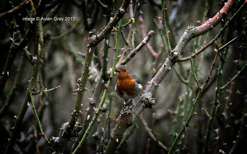 Robin - safe roost - 2/3