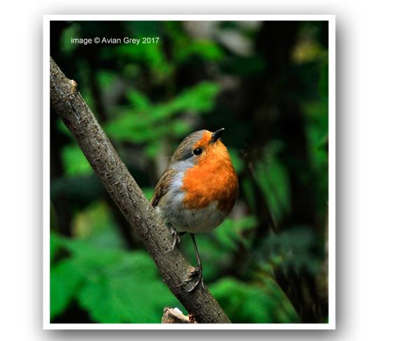Monday Robin