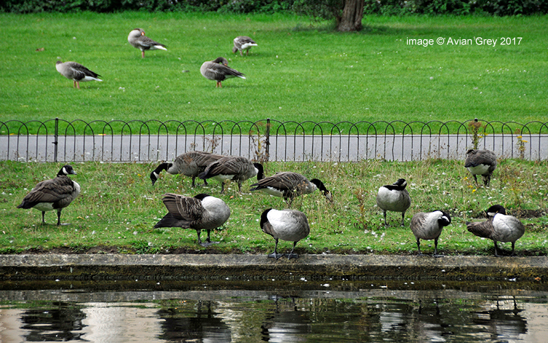 Geese to Graze . .