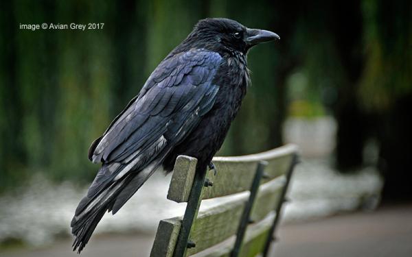 Mr. Crow