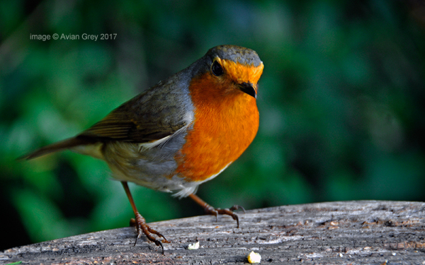 Monday Robin