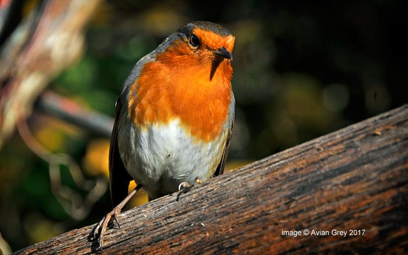 Weekday Robin