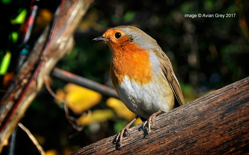 Robin Returns . .
