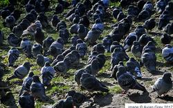 Pigeon World 1/2