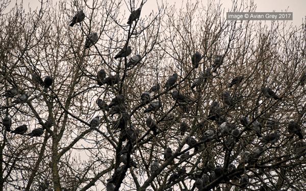 Pigeon World 2/2