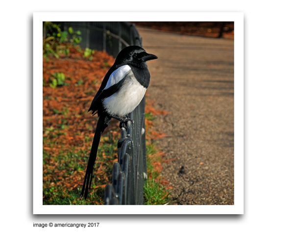 Friendly Magpie
