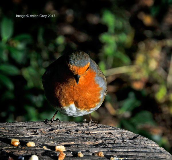 Saturday Robin