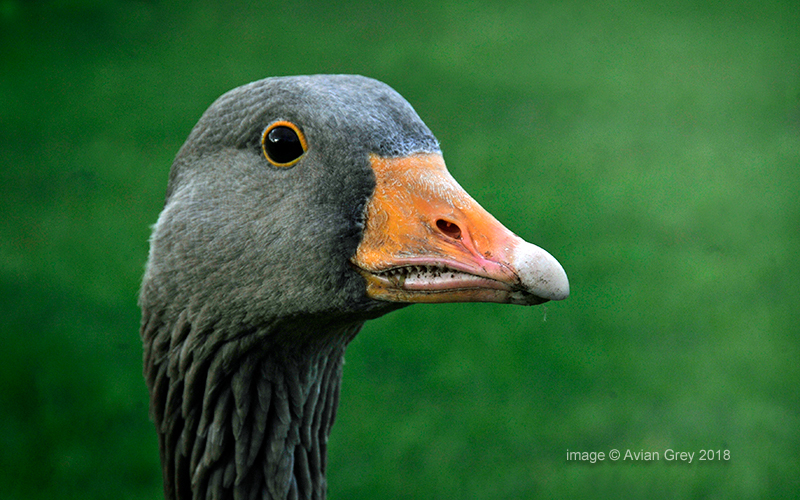 That Goose Look