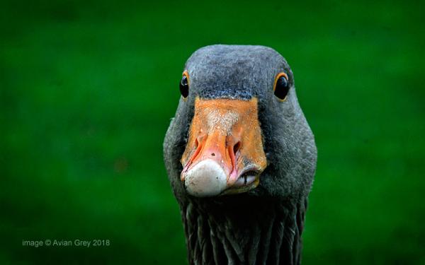 . . it's that goose again