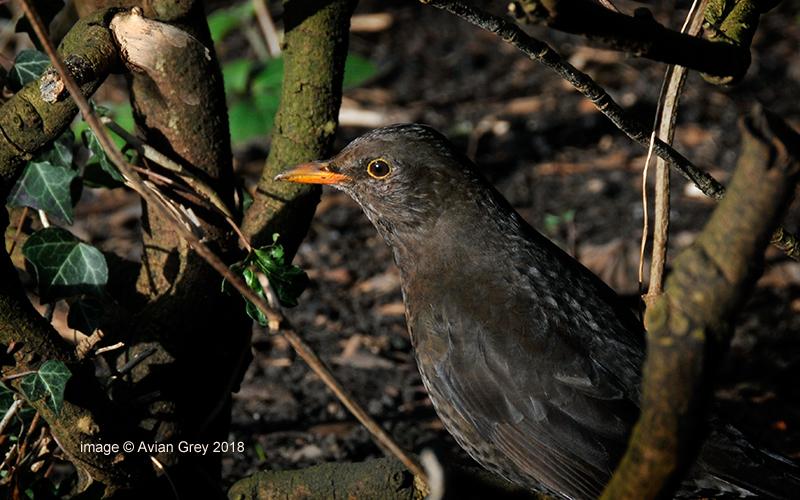 Blackbird (F)